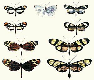 Photo of page from book showing pairs of butterflies of different species whose appearance closely resembles each other