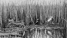 plate from a book, with a monochrome photograph of the two nests, which are floating on water in front of reeds, and almost touching each other