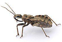 Assassin bug aug08 02.jpg