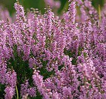 purple heather in meadow showing flower spikes