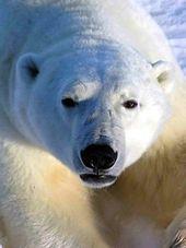 一只北极熊