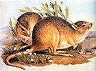 Caloprymnus campestris