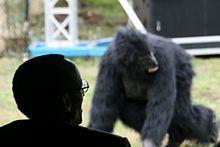 卡加梅背后的剪影,可见背景失焦的山地大猩猩。