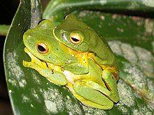 Orange-thighed frogs in amplexus
