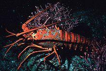 Lobster 300.jpg
