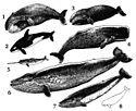 Cetacea.jpg