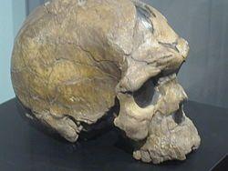Homo Sapiens Idaltu.JPG