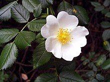 Rosa pouzinii FlowerCloseup SierraMadrona.jpg