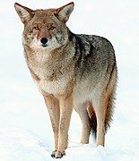 Gray and brown canine in the snow