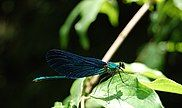 The beautiful demoiselle, one of the most common Odonata species in Slovenia