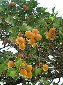 Prunus armeniaca Nubra Valley.jpg
