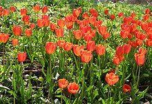Red Tulipa × gesneriana flowers