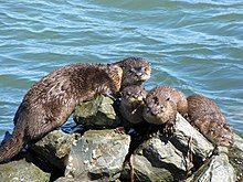 An image of river otter sunning on rocks.