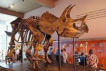Triceratops mount.jpg