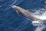 Atlantic spotted dolphin (Stenella frontalis) NOAA.jpg