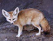 Large-eared fox on rock