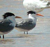 Lesser-crested Tern bribie oct02.jpg