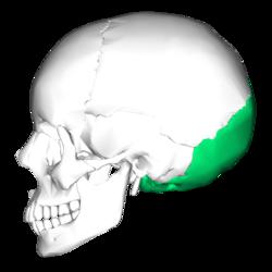Occipital bone lateral4.png