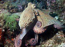 Octopus vulgaris 2.jpg