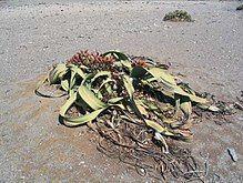 Welwitschia at Ugab River basin.jpg