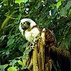 Lisztaffe - Cottontop Tamarin - Saguinus oedipus.jpg