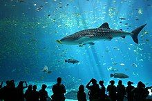 Photo showing visitors in shadow watching whale shark in front of many other fish.