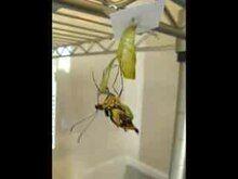 File:Papilio dardanus emerging.ogv