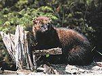 Fisher (animal).jpg