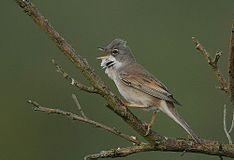 Flickr - Rainbirder - Common Whitethroat (Sylvia communis).jpg