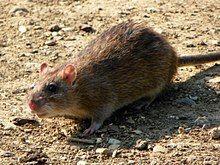 Rattus norvegicus -Fairlands Valley Park, Stevenage, England-8.jpg