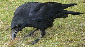 Corvus corone Rabenkrähe 1.jpg