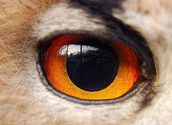 Eagle(owl)-eye.JPG