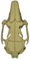 O. c. cuniculus skull (dorsal).png