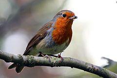European Robin (erithacus rubecula).JPG