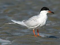 Forster's Tern (Sterna forsteri) RWD1.jpg