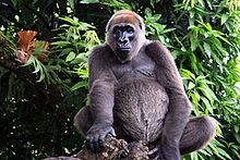 Cross river gorilla.jpg