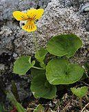 Viola biflora flower and leaves