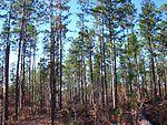 德·索托国家森林中的松树林