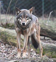 European grey wolf in Prague zoo.jpg