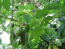 Avocado fruitnfoliage.jpg