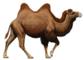 Cladogram of Cetacea within Artiodactyla (Camelus bactrianus).png