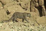 PikiWiki Israel 14861 judean desert leopard.JPG