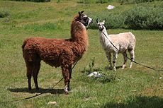 Pack llamas posing near Muir Trail.jpg
