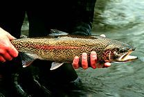 Photo of adult rainbow trout