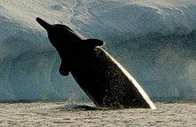 Arnoux's beaked whale.jpg