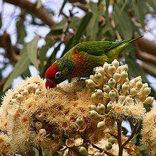 Psitteuteles versicolor -Queensland-8-4c.jpg