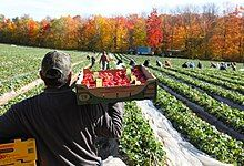 A man carries a flat of strawberries in a field