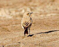 Isabelline wheatear (Oenanthe isabellina) male, non-breeding.jpg