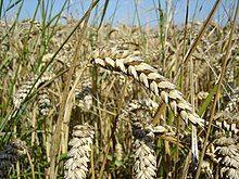 Wheat close-up.JPG