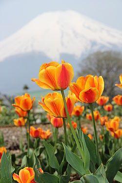 Mount Fuji and Tulips 4.jpg